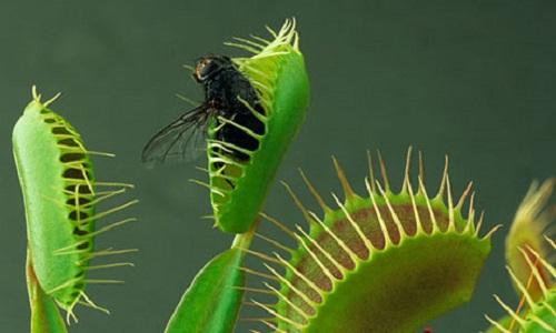 Fly in Venus flytrap