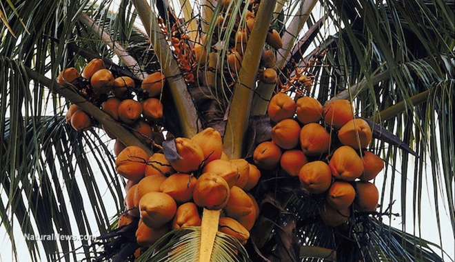 Coconuts-In-Tree