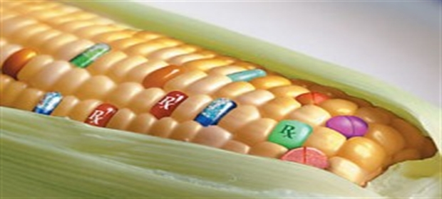 genetically-modified-corn-263x175