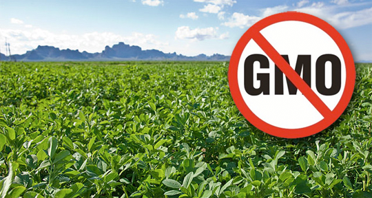 gmo-contamination-alfalfa[1]