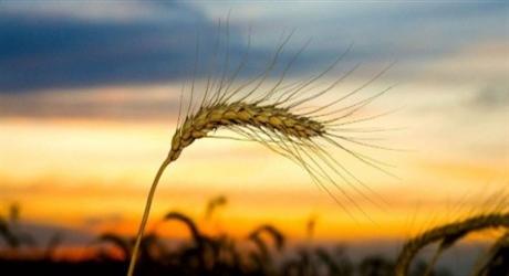 crop_wheat_wind-460
