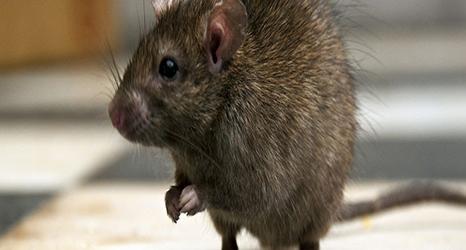 RATS-735-250-466