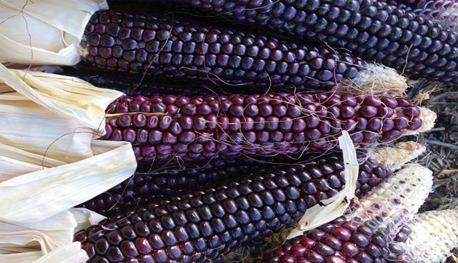 blue corn 4 18 16