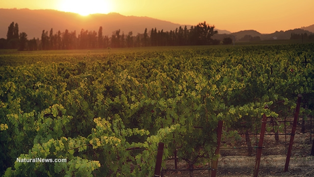 Vineyard-Crop-Sunset-Wine-Grapes