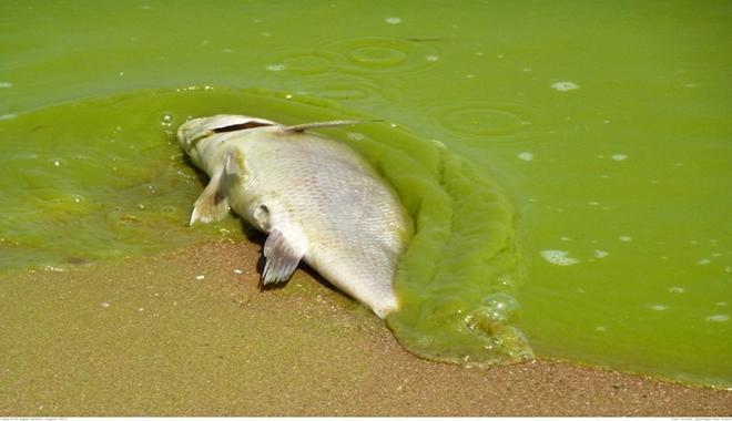 dead-fish-algal-bloom-1024x774