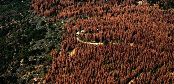 california-trees-dead